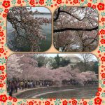 Cherry blossom 櫻花節
